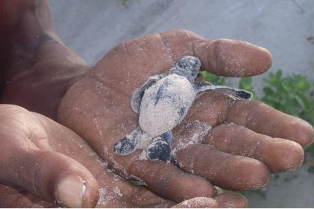 Turtle breeding grounds are threatened by development on the beach front